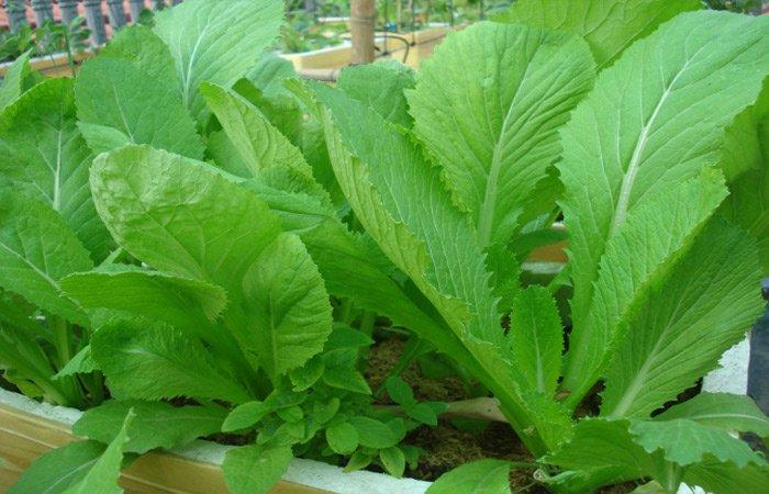 Các loại cây rau dễ trồng