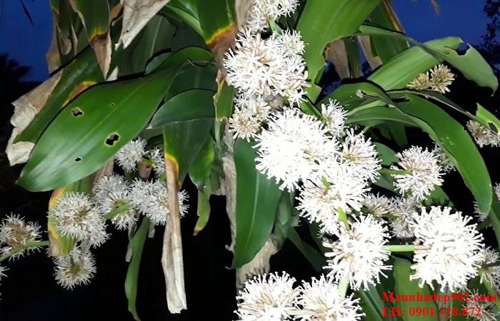 Cây phát tài ra hoa có ý nghĩa gì?