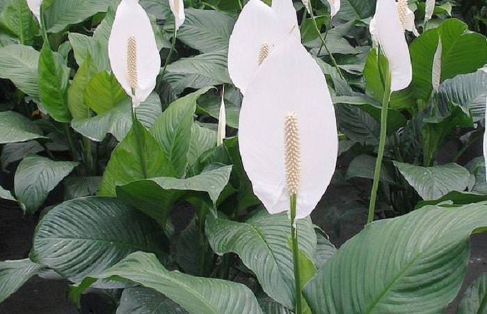Top những loại cây trồng chống bụi, hút khí độc nên có ít nhất 1 cây trong nhà