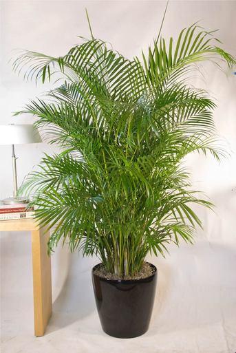 nguoi menh kim nen trong cay gi de ruoc tai loc1%281%29 - Cách trồng và chăm sóc cây cau Nhật